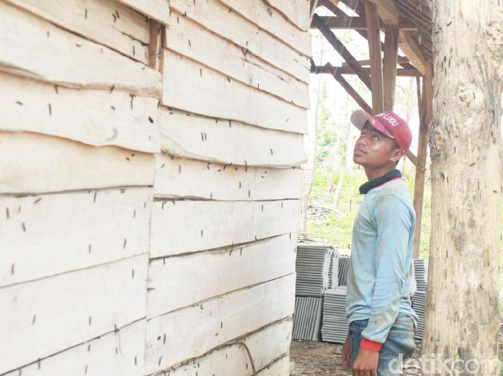 Hiii, Teror Ulat Pohon Jati Merambah Permukiman Warga di Tuban