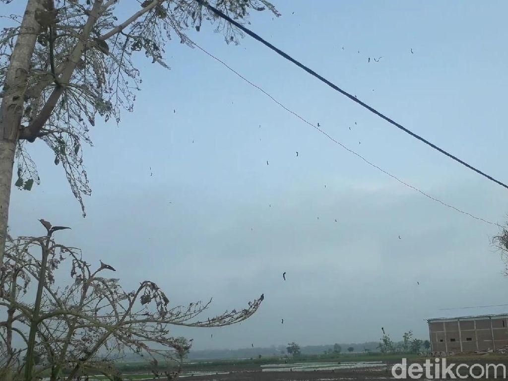 Bukan Ulat Bulu, yang Ada Teror Ulat Pohon Jati di Bojonegoro