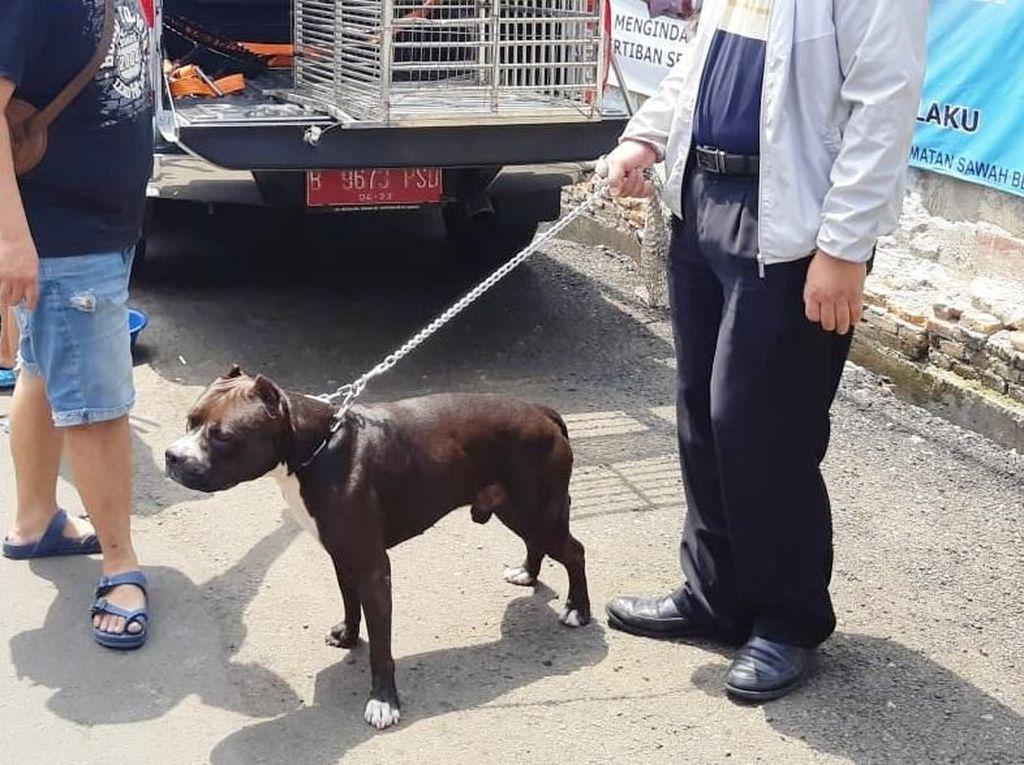Jika Tak Diikat Lagi, Pitbull yang Serang Satpam Diambil dari Pemilik