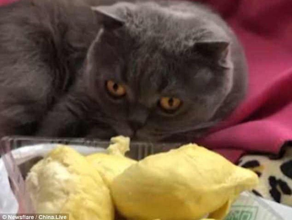 Waduh! Kucing Ini Pingsan Saat Cium Aroma Durian yang Menyengat