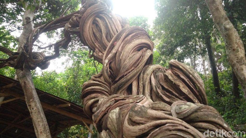 Foto: Pohon Keramat Warisan Pangeran Cakrabuana