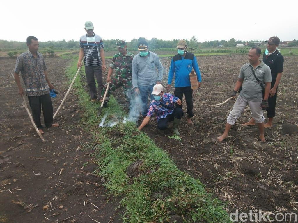 Petani Kewalahan, TNI Terjun Berperang Basmi Tikus