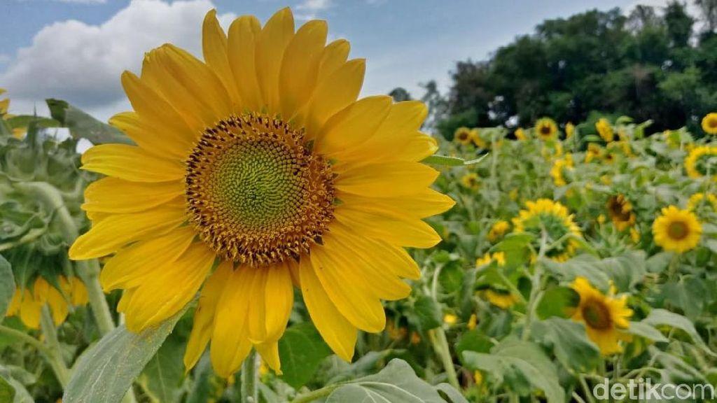 Foto: Kebun Bunga Matahari yang Viral di Kediri