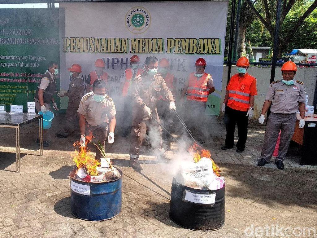 Kornet Babi dan Benih Tanaman Dimusnahkan Balai Karantina Malang