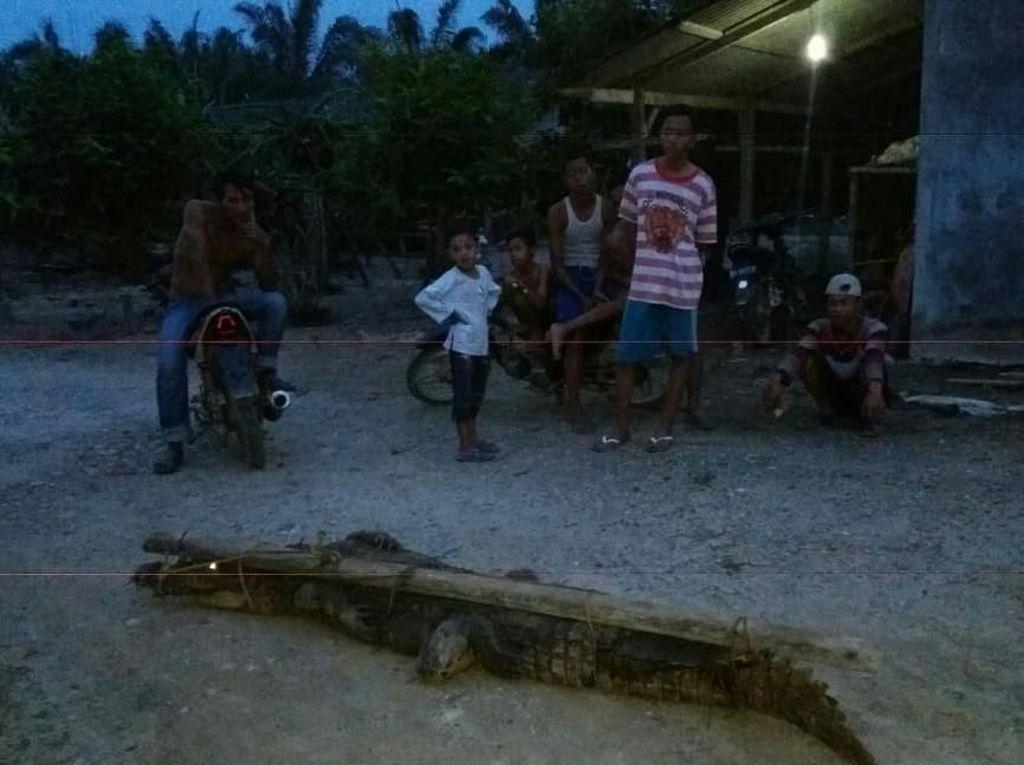 Buaya 3 Meter di Aceh Ditangkap Saat Mangsa Ternak Warga