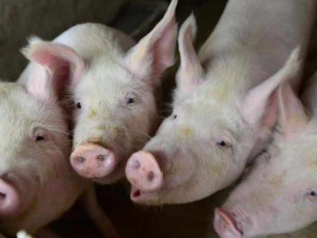 Korupsi Dana Ternak Babi, Pengusaha di Papua Dihukum 10 Tahun Penjara