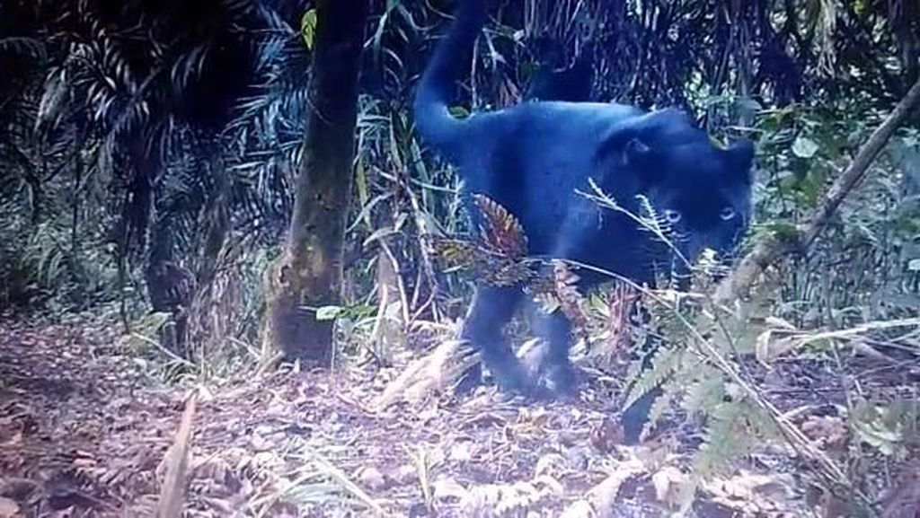 Penampakan Macan Kumbang yang Terekam Kamera Taman Nasional Semeru