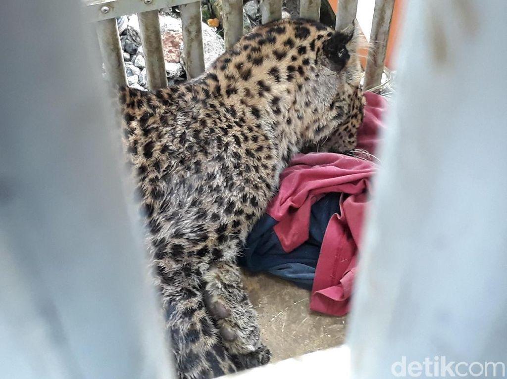 Macan Tutul Lereng Lawu yang Tertangkap Diduga Induk