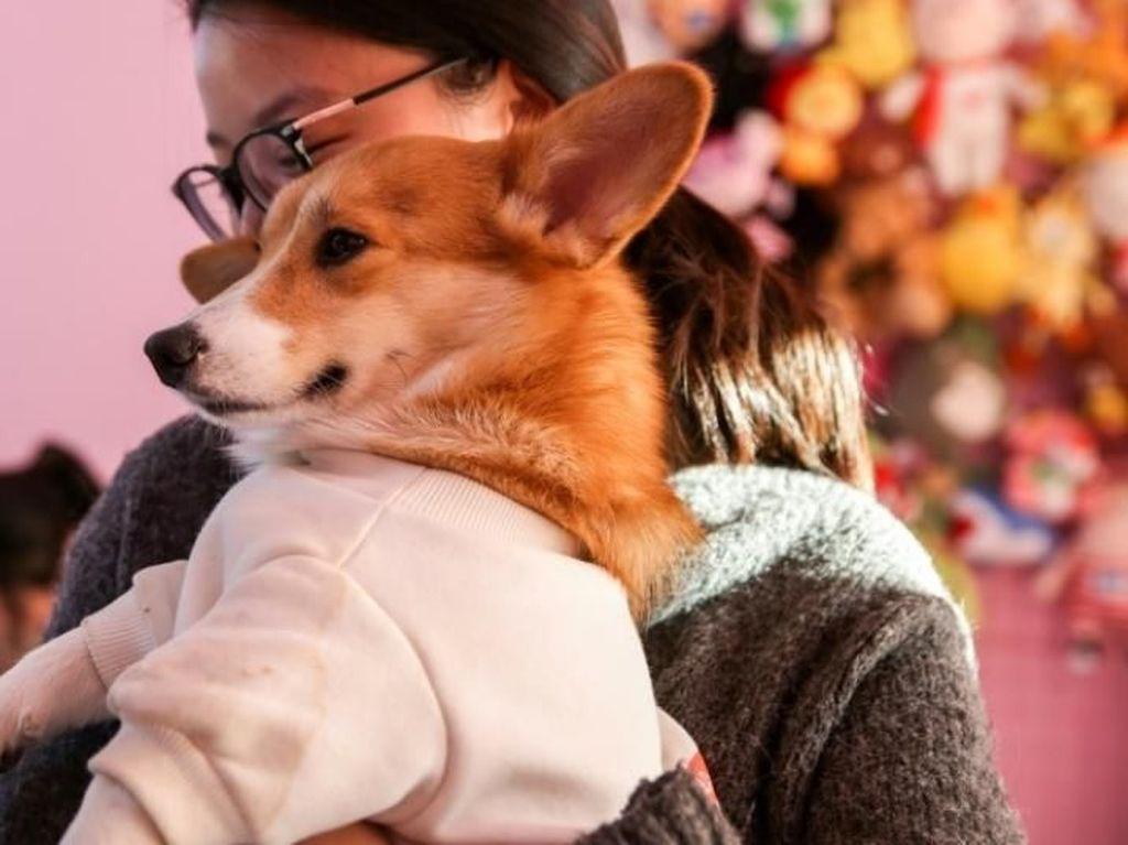 Gemas! Di Kafe Ini Bisa Pesan dan Bayar Makanan Lewat Anjing Corgi yang Imut