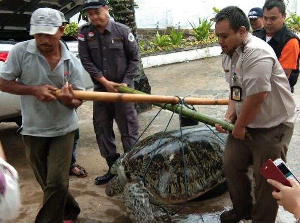 Akibat Tsunami Selat Sunda, Penyu Raksasa Terdampar di Pesisir