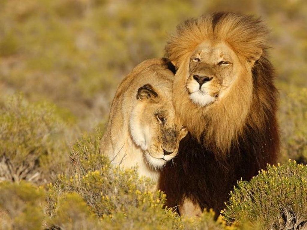 Lion King dan Mitos-mitos Keliru Tentang Singa