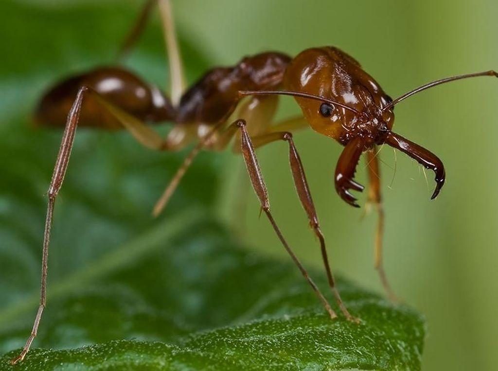 Hii..! Dokter Temukan Semut Pemangsa Makanan di Dalam Kuping Pria Ini