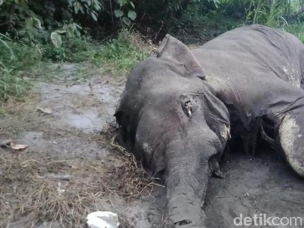 Kapolda Aceh Minta Jajarannya Ungkap Kasus Kematian Gajah