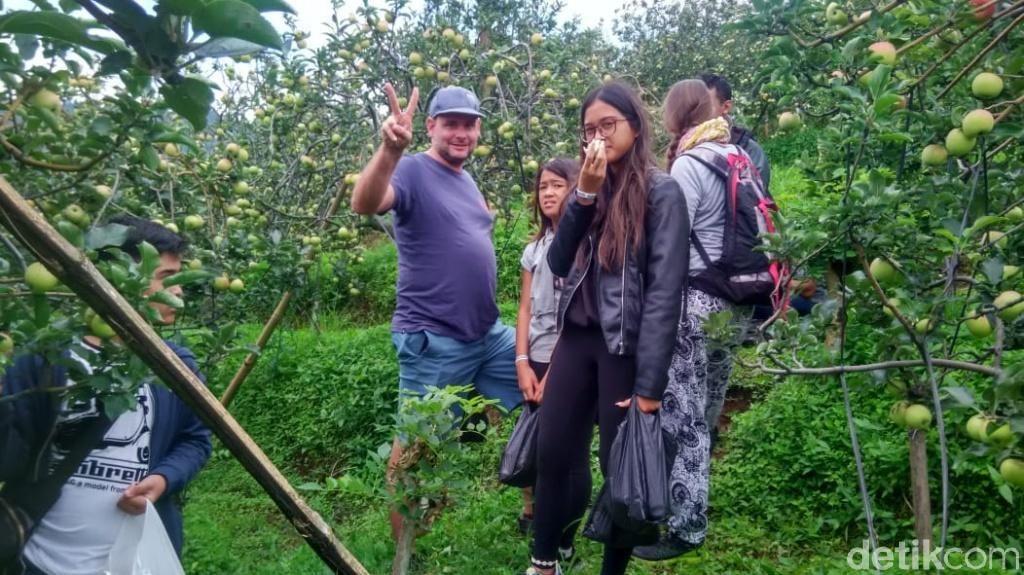 Foto: Makan Apel Sepuasnya di Lereng Gunung Bromo