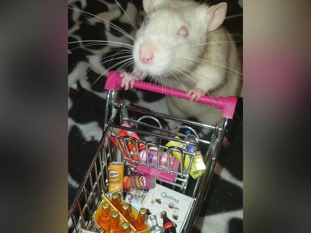 Benar Atau Nggak Sih Tikus Doyan Makan Keju?