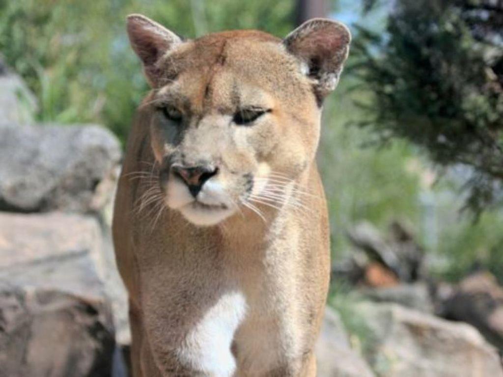 Penyelamatan Dramatis Puma dari Atas Pohon