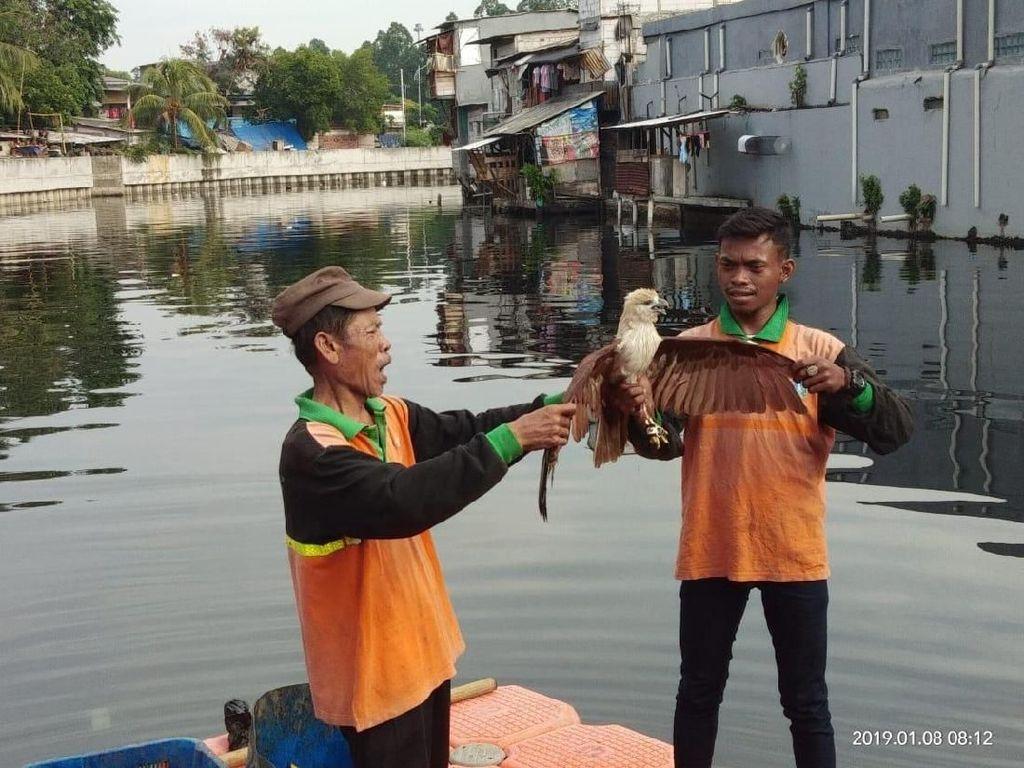 Elang Bondol Maskot Jakarta Mendadak Kecebur ke Kali Penjaringan