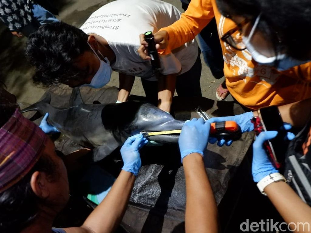 Lumba-lumba Terdampar di Pantai Blitar, Bertahan Sehari Sebelum Mati