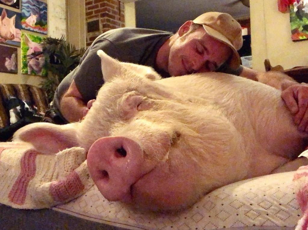 Karena Sayang, Keluarga Ini Tak Jadi Santap Babi yang Diadopsi