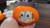 Menggemaskan Hamster Ini Nyempil Didalam Kulit Jeruk Mandarin