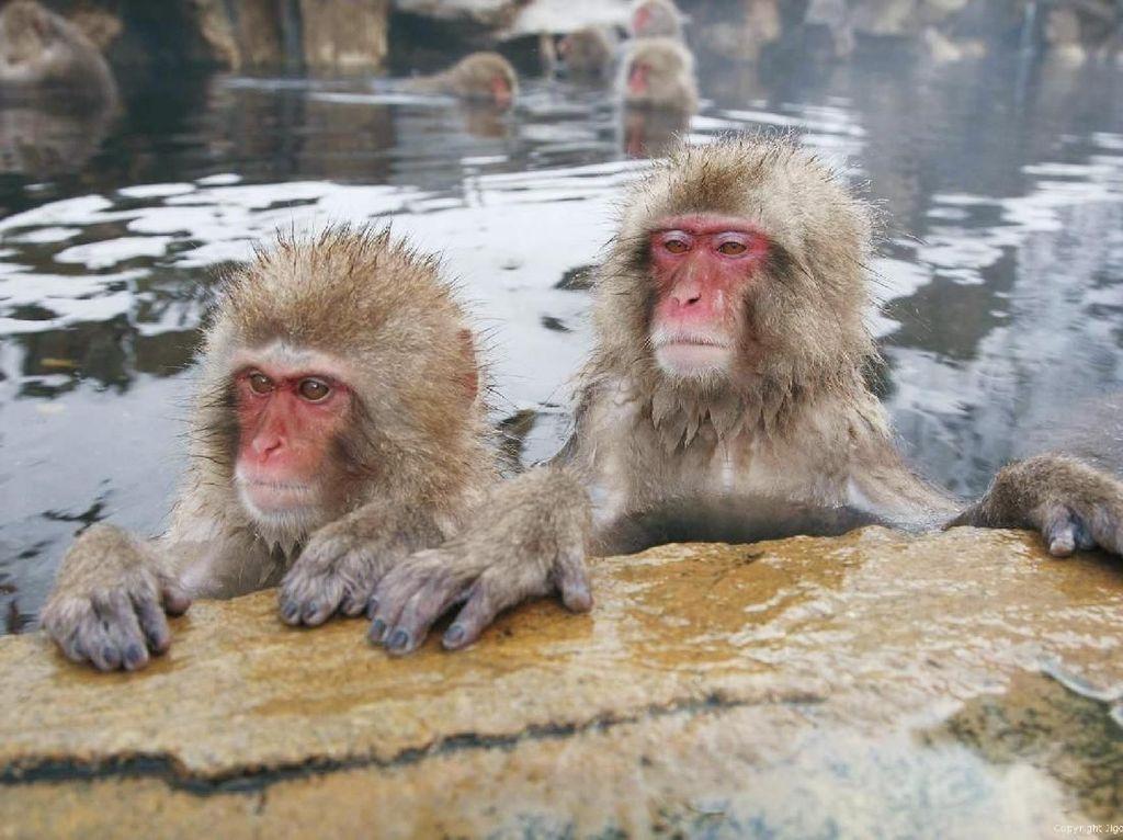 Kocak! Begini Cara Monyet Jepang Bepergian di Musim Dingin