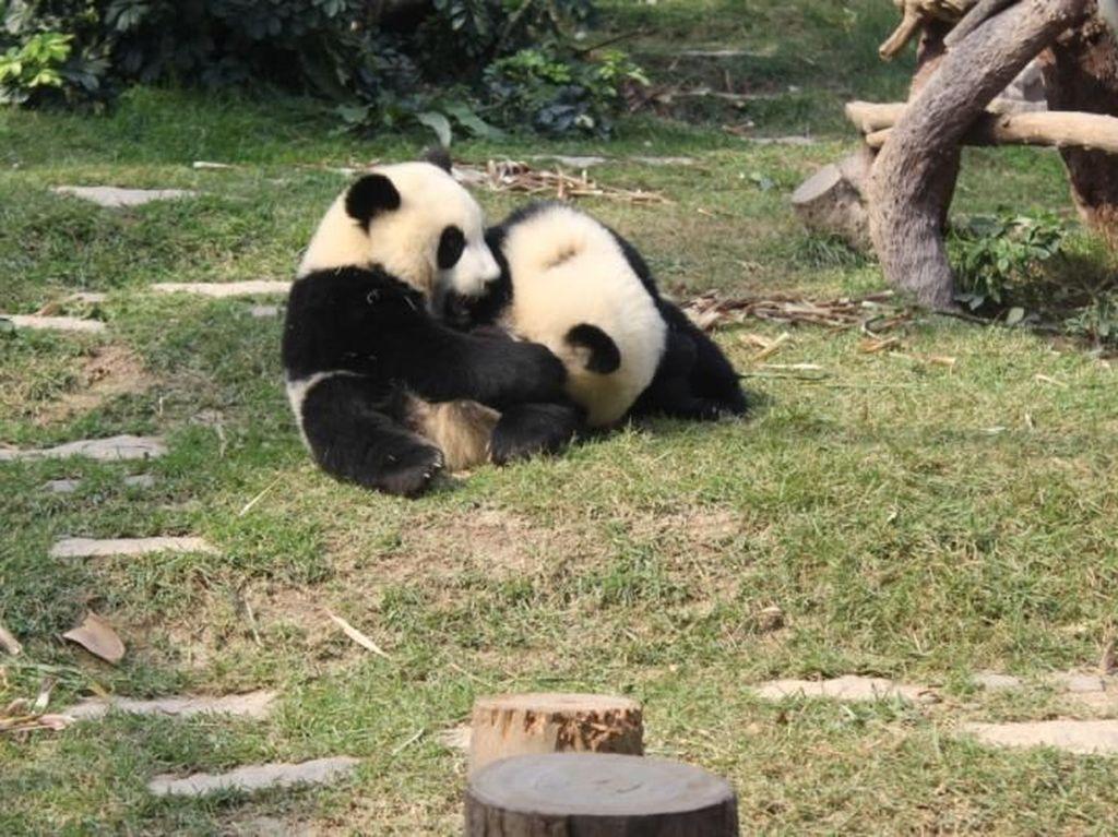 Aih! Gemasnya Lihat Tingkah Bayi Panda di Jepang
