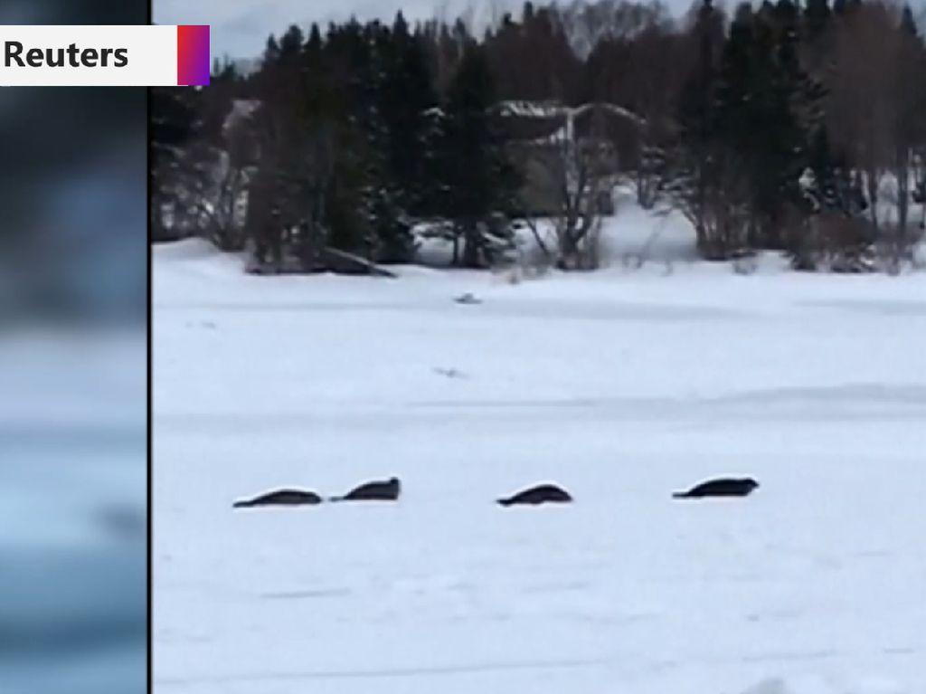 Bikin Geger! Kota Kecil di Kanada Dibuat Kacau oleh Anjing Laut