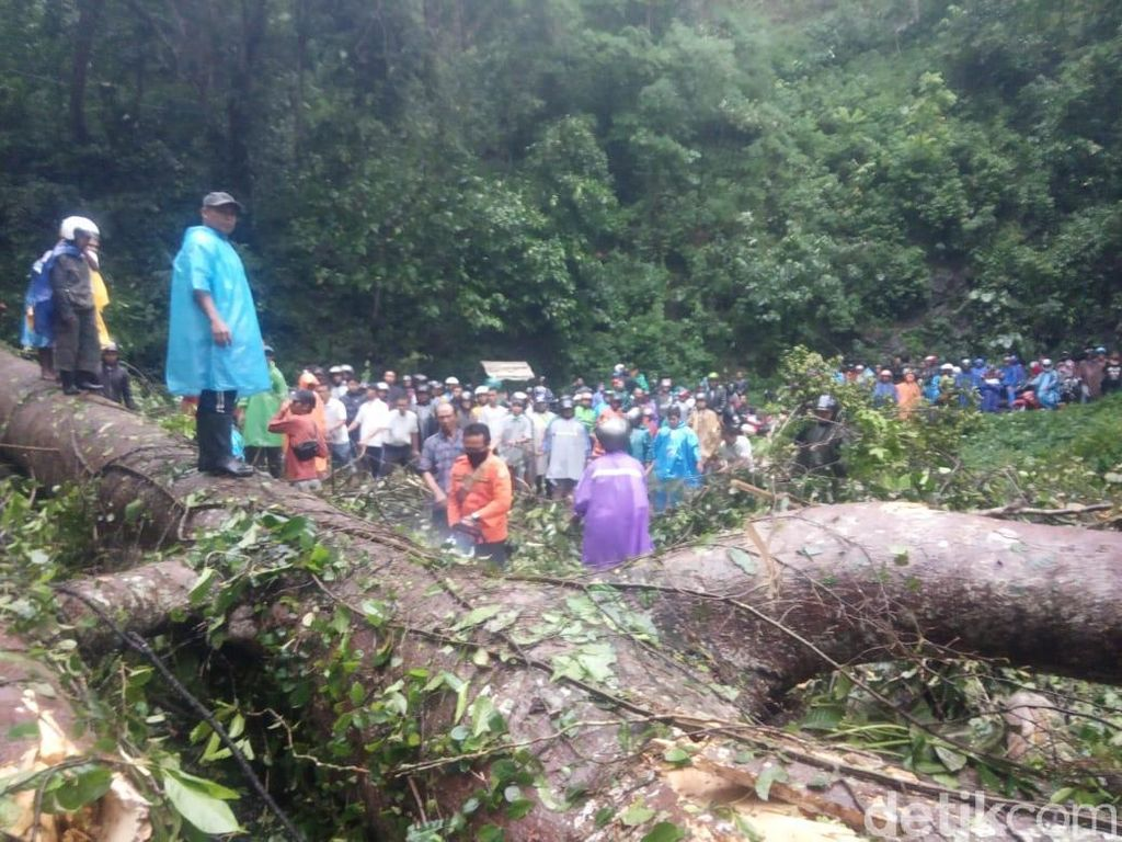 3 Pohon Tumbang di Gumitir, Jalur Jember-Banyuwangi Macet Total