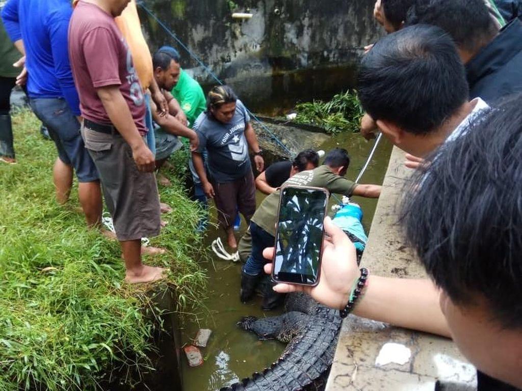 Polisi Bidik Pemilik Buaya 600 Kg yang Makan Orang di Sulut