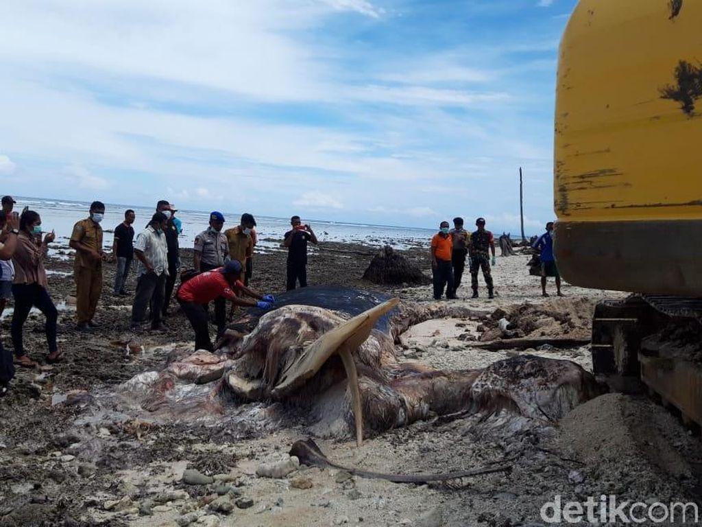 Paus Biru 18 Meter yang Terdampar di Maluku Dikubur