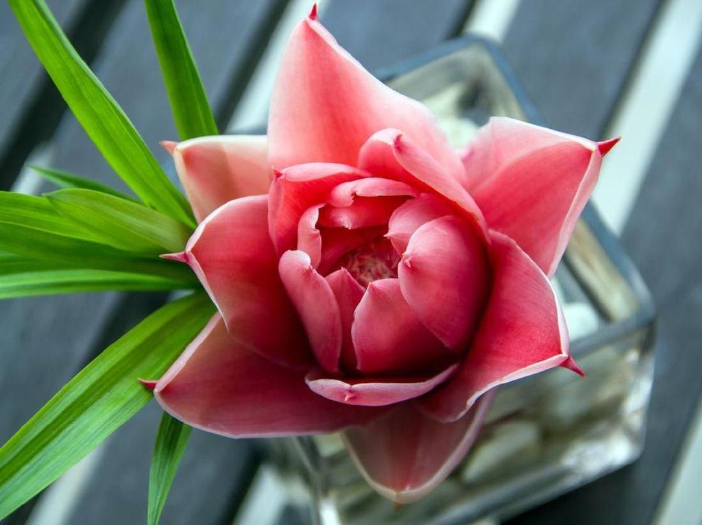 Kecombrang, Si Bunga Kaya Manfaat dan Aromatik