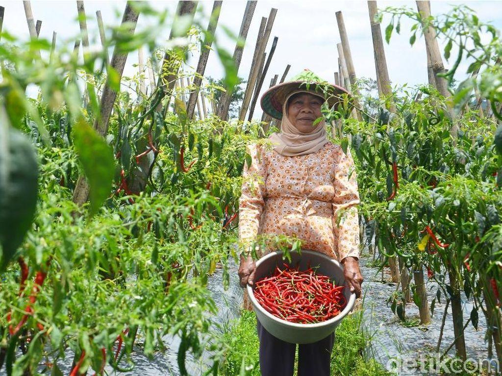 Solusi Kementan agar Petani Tak Buang Sayuran saat Harga Anjlok