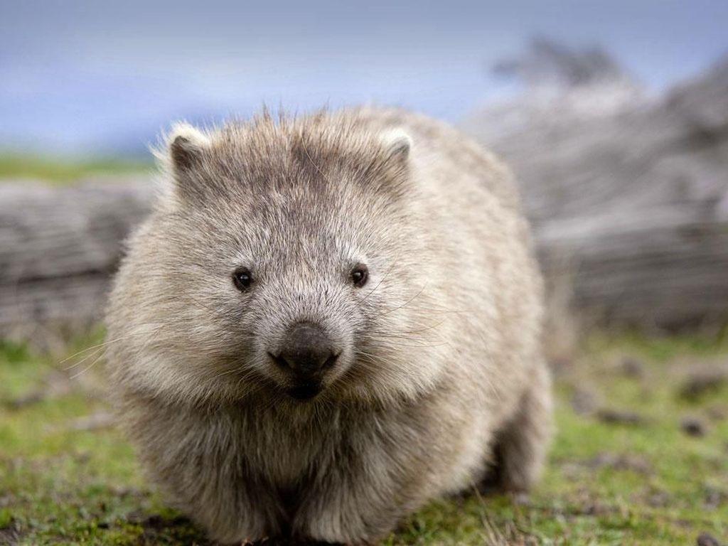 Australia Minta Turis Stop Selfie dengan Wombat