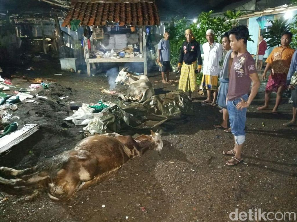 Heboh Tiga Ekor Sapi di Situbondo Mati Mendadak