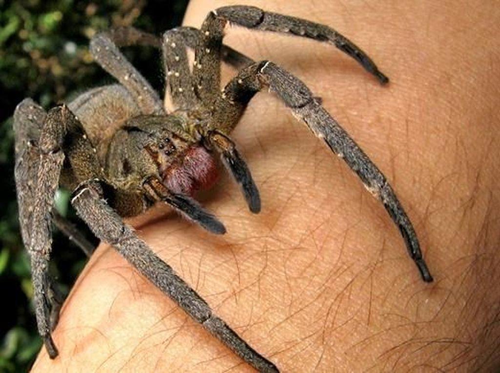 Potret Laba-laba yang Gigitannya Bisa Bikin Penis Tidak Berhenti Ereksi