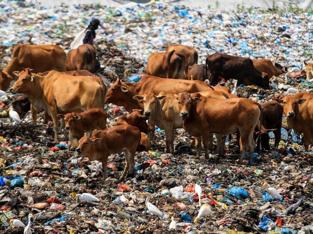 Miris! Tempat Pembuangan Sampah Jadi Ladang Ternak Sapi