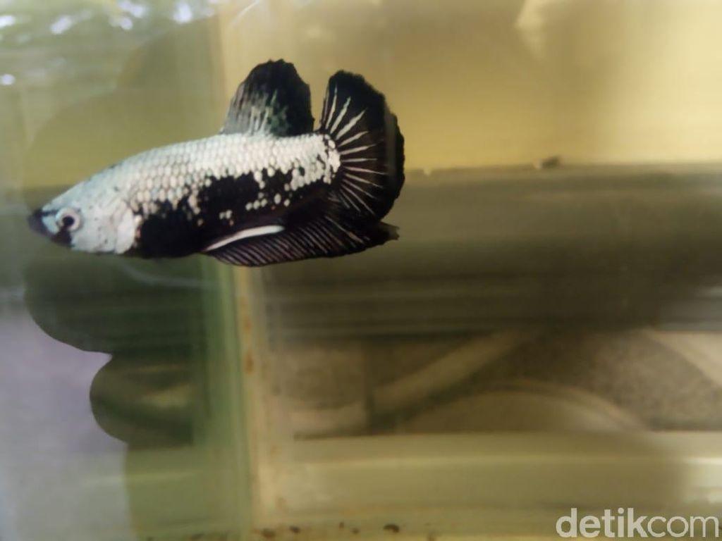 Khawatir DBD Mewabah, Koleksi Ikan Cupang Dilepas ke Selokan