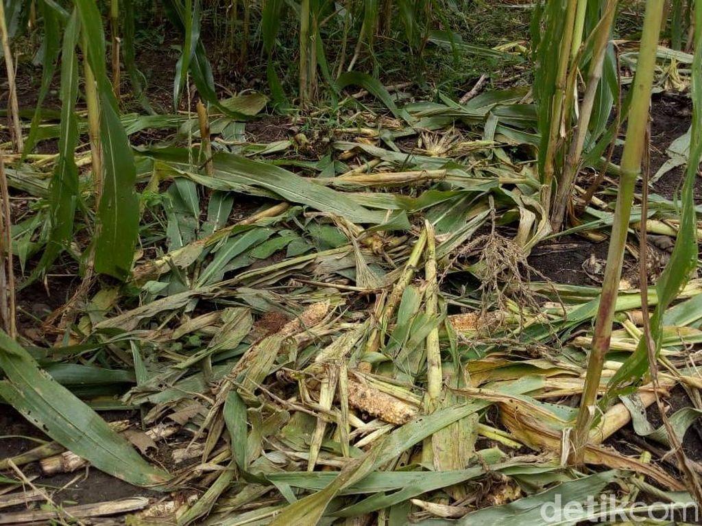 Warga Ponorogo Punya Trik Antisipasi Serangan Babi Hutan
