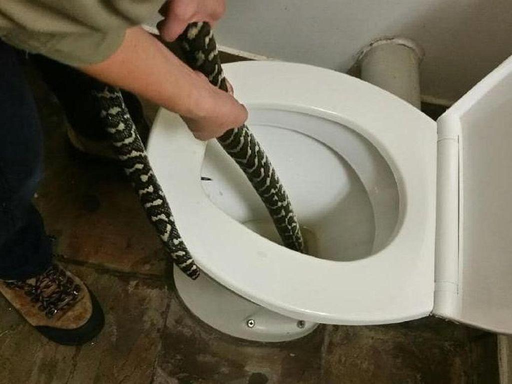 Geger Perempuan Digigit Ular Sanca dari Lubang Toilet