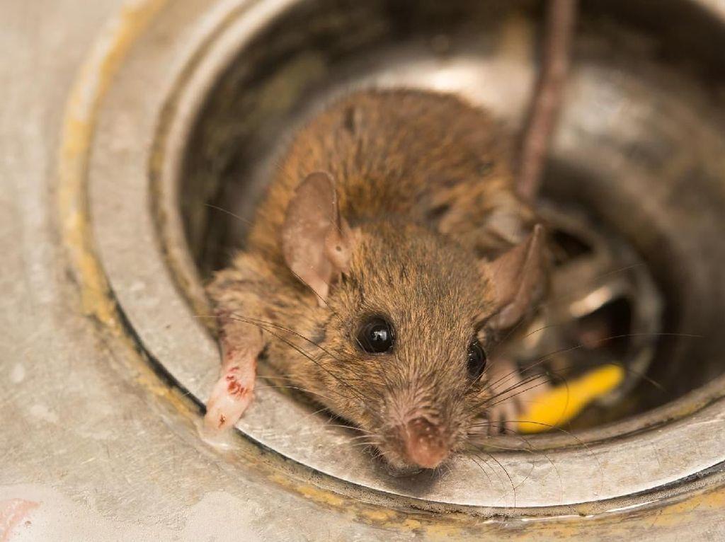 Hii..! Ada Bangkai Tikus Jatuh ke Atas Meja di Restoran Hong Kong Ini
