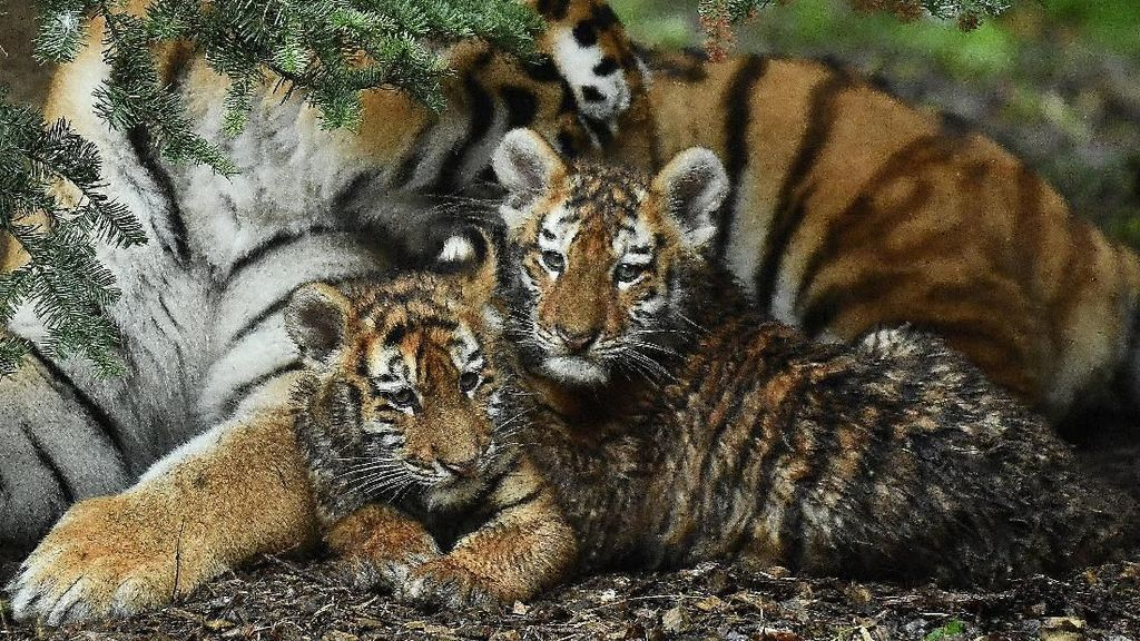 Melihat Tingkah Bayi Harimau Amur yang Bikin Gemas