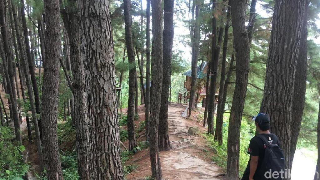 Foto: Hutan Pinus yang Indah Ini Bukan di Pulau Jawa