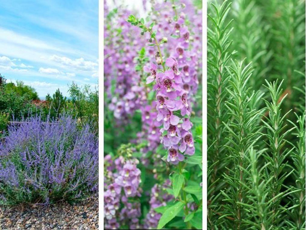5 Tanaman yang Mirip Lavender Si Penangkal Nyamuk DBD, Awas Terkecoh