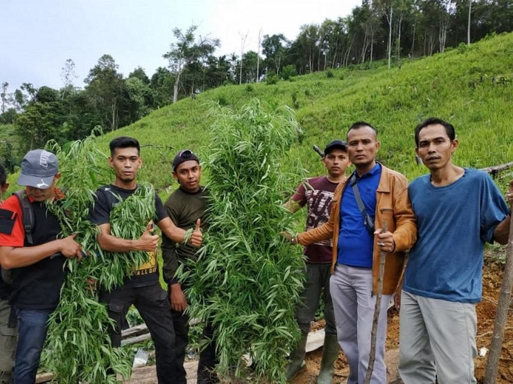 Satu Hektare Ladang Ganja Ditemukan di Pidie Aceh