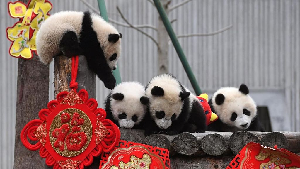 Aksi Menggemaskan Panda di China Sambut Imlek