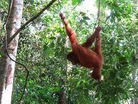 Bukit Lawang, daerah melihat orangutan (Saiful Azhar/d'Traveler)