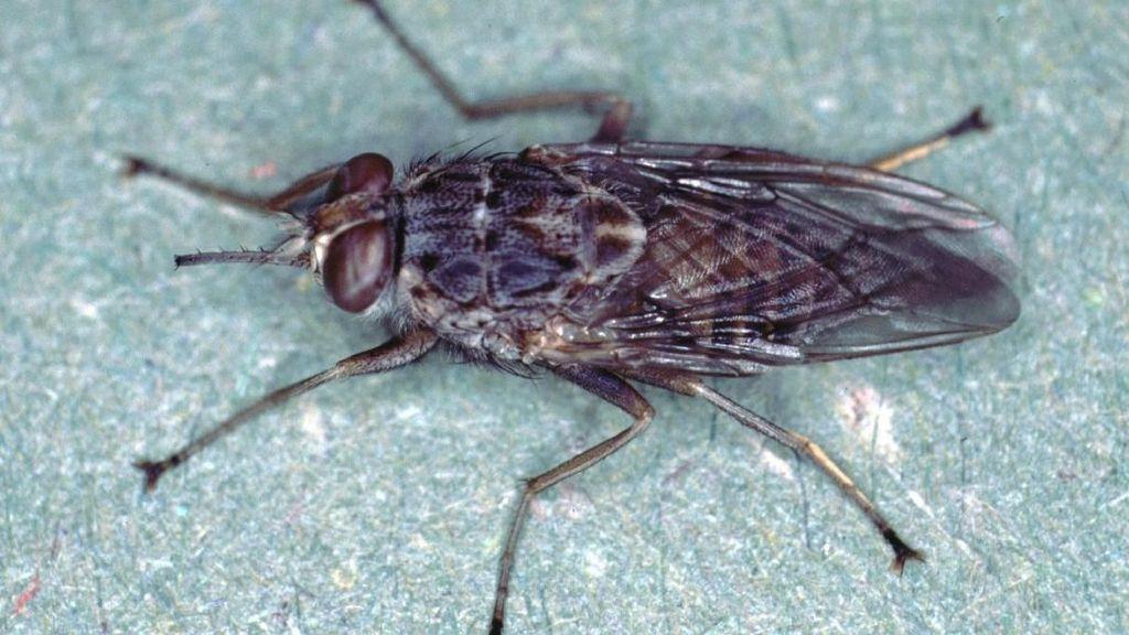 Hati-hati Ketemu Lalat Ini, Gigitannya Bisa Bikin Penyakit Tidur