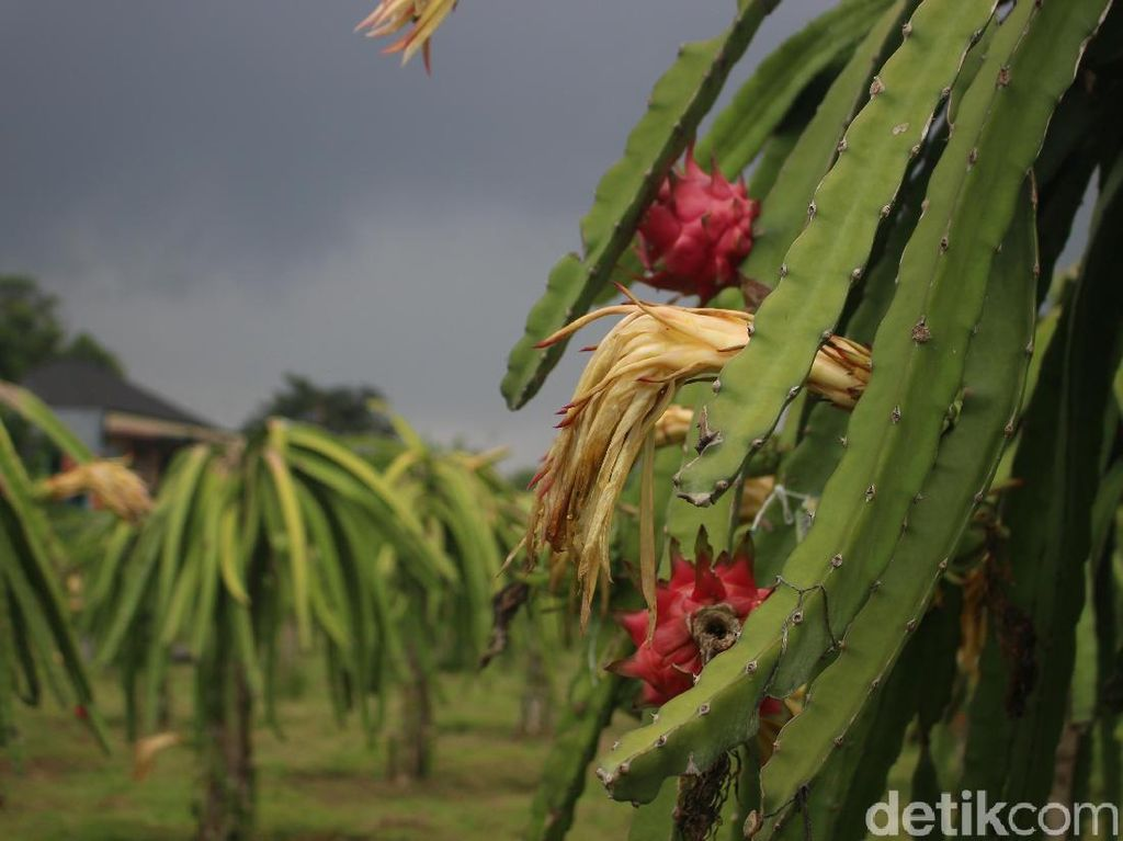 Mengintip Kebun Budidaya Si Manis Buah Naga Di Bogor
