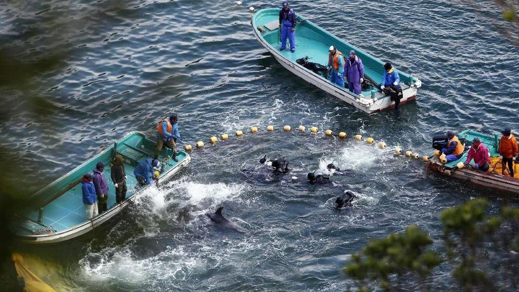 Foto: Lautan Darah Lumba-lumba di Jepang