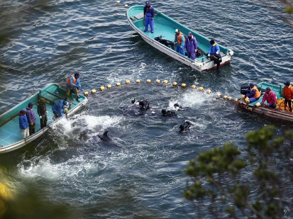 Kata Peneliti Kelautan Soal Perburuan Kejam Lumba-lumba di Jepang